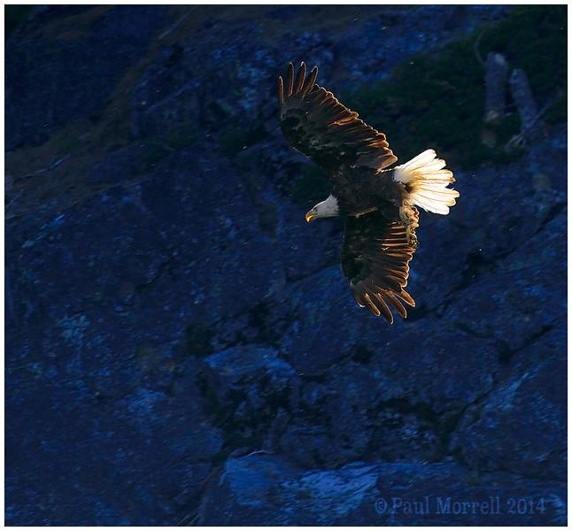 Blue Rock Bald Eagle