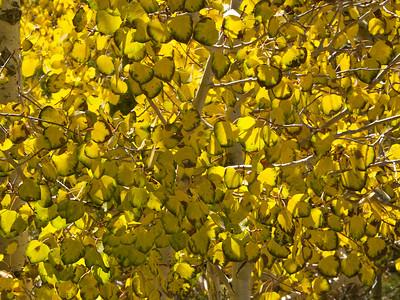 Aspen Leaves Turned Copyright 2009 Neil Stahl