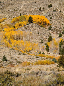 Formation of Aspen, June Lake Loop 2 Copyright 2009 Neil Stahl