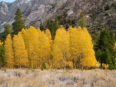 June Lake Loop Aspen Grove Copyright 2009 Neil Stahl