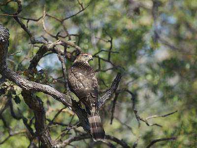 Hawk Shot Out Our Window Red Shouldered Hawk