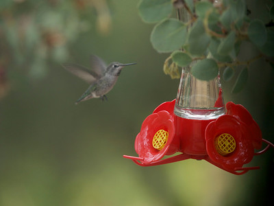 Hummingbirds Shot Out Our Window At Vonda's new feeder Anna's Hummingbird(s)