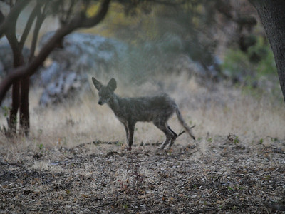 Coyote standing (coy dog?)