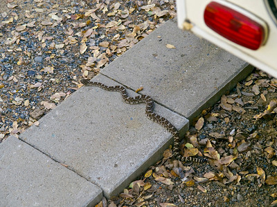 Our rattler visitor leaving.