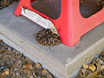 Small rattlesnake curled up by our jack.  Birds had raised a ruckass!