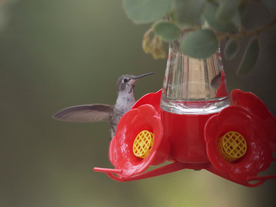 Hummingbirds Shot Out Our Window Anna's Hummingbird(s)