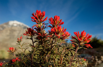Indian Paintbrush in the Buttermilk near Bishop, CA