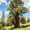 Bennett Juniper Tree in Stanislaus National Forest, July 2015. The tree is aged to be approximately 6,000 years old, and it is the largest juniper tree known in America.