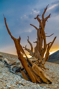 Bristlecone Sculpture at Sunset