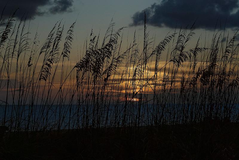 Sea Oats - Siesta Key Florida