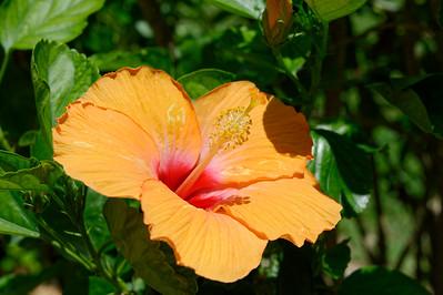 Hibiscus - Siesta Key Florida