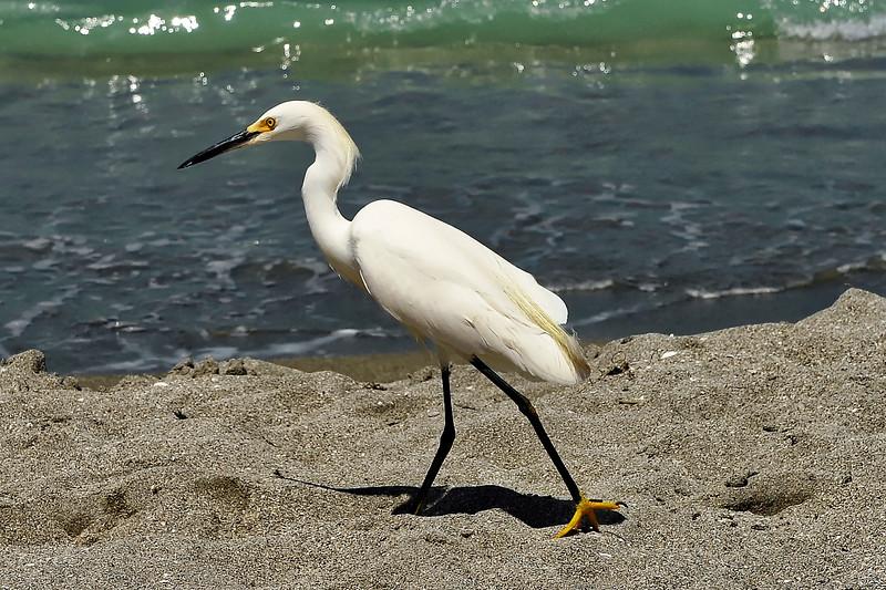 Snowy Egret - Seista Key Florida