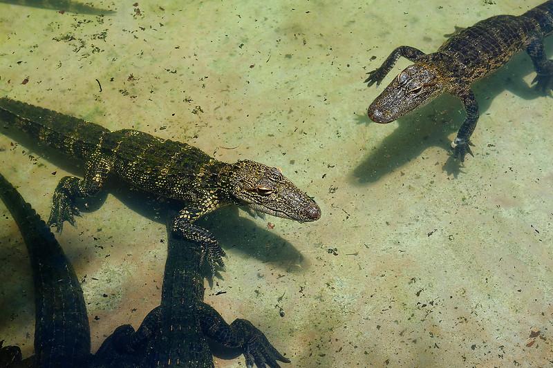 Gator Pond - Sarasota Jungle Gardens - Sarasota Florida