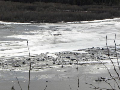 Caribou Migration - 2
