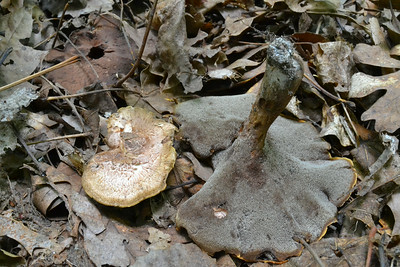 We found this toothed fungus in the deciduous forest. It is similar to Sarcodon imbricatus, but the stem is not hollow and it was not under conifers. Right nearby we also found another toothed fungi, Hydnellum spongiosipes.
