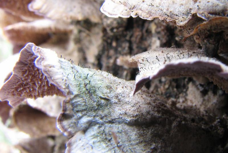 The fairy pin,  Phaeocalicium polyporaeum, on purple tooth.