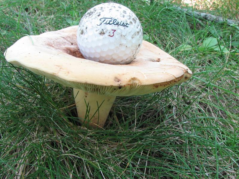 Ellis park has a golf course, and a mushroom tee!