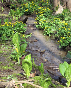 Skunk Cabbage and Marsh Marigold