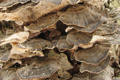 """Closeup of the Turkey Tail Polypore. Not sure if this is the """"regular"""" of the """"hairy"""" version of this common fungi."""