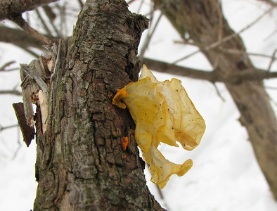 Tremella mesenterica, Witches Butter