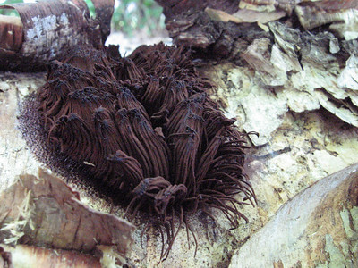 Stemonitis on River Birch