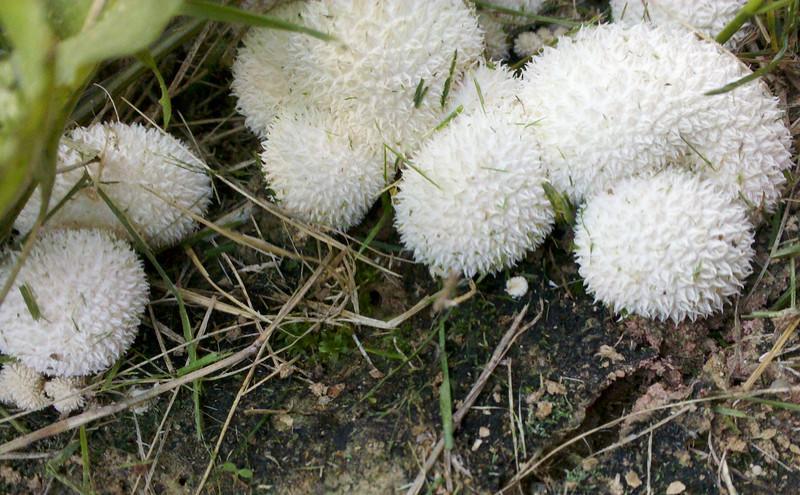 Lycoperdon pulcherrimum