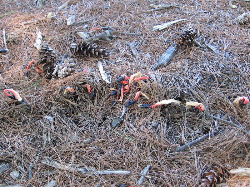 Stinkhorn, there were hundreds under these pines