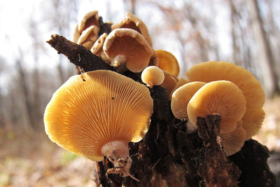 Panellus stipticus which was found on ever other log it seemed