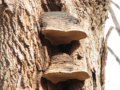 Is this an Artist's Conk? The layers look too thick. Lower on this same tree, the shelf fungi did look like the Artist's Conk, but these don't.