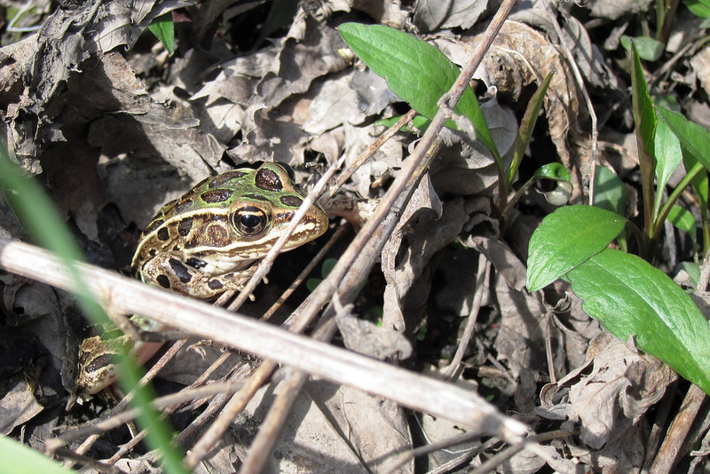 Northern Leopord Frog, Rana pipiens