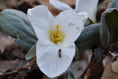 Snow Trillium with pollen covered bugs