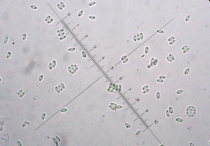 Dumontinia tuberosa Spore