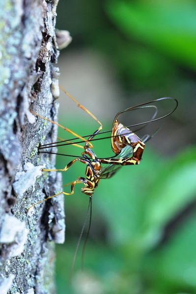 A Giant Ichneumon Wasp - Megarhyssa macrurus<br /> lying an egg