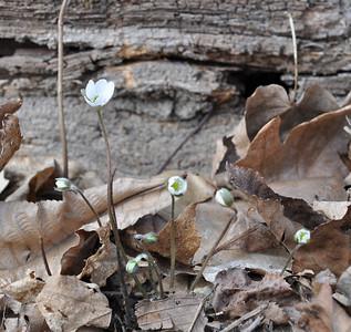 Sharp-lobed Hepatica, Hepatica nobilis acuta