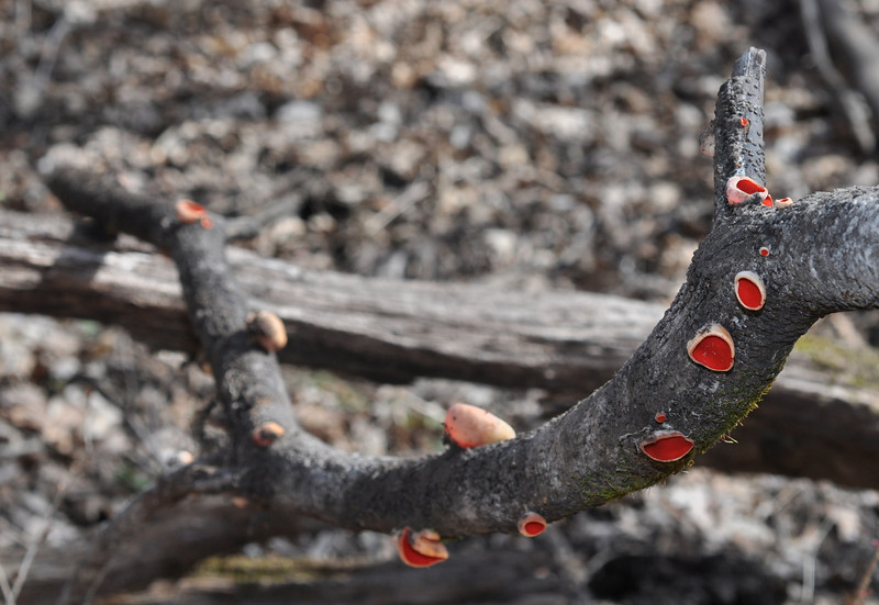 A stick full of Scarlet Cup