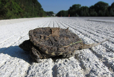 A brand new snapping turtle sunning on the pavement
