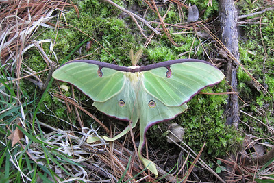 A Luna Moth so fresh that the wings were still flexible.
