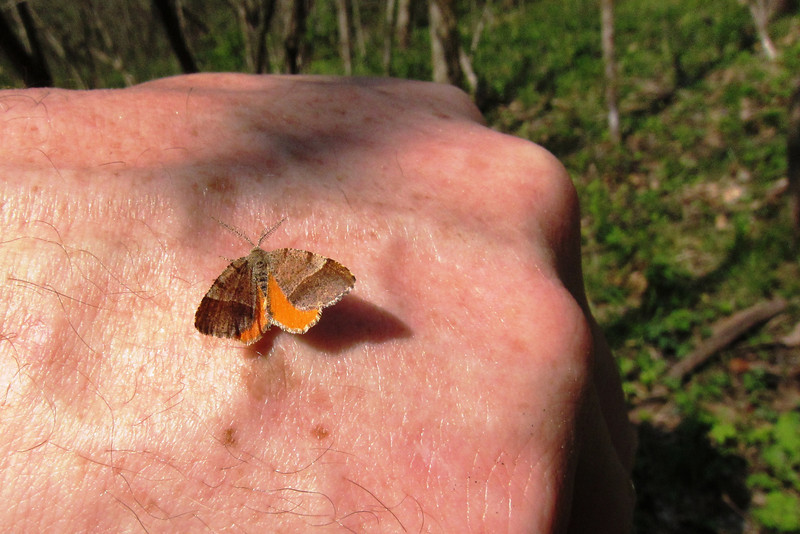 A Orange Wing moth (Mellilla xanthometat) laps up some minerals from my hand. Seen from April through September and easily flushed during the daytime.