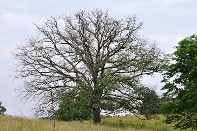 A dying Oak tree out in the sand prairie.