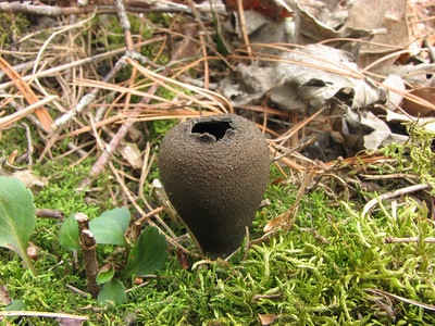 A Devil's Urn in some moss. There is a buried stick, but it is also covered with moss.
