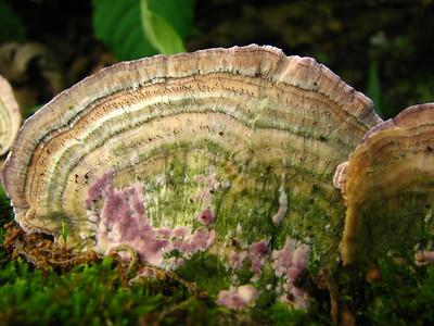 Fairy Pins on Purple Tooth.