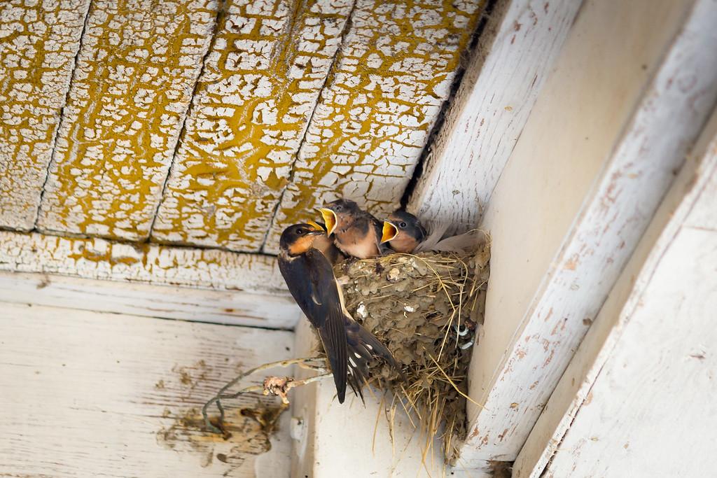 barn swallows 3