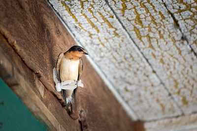 barn swallow 2