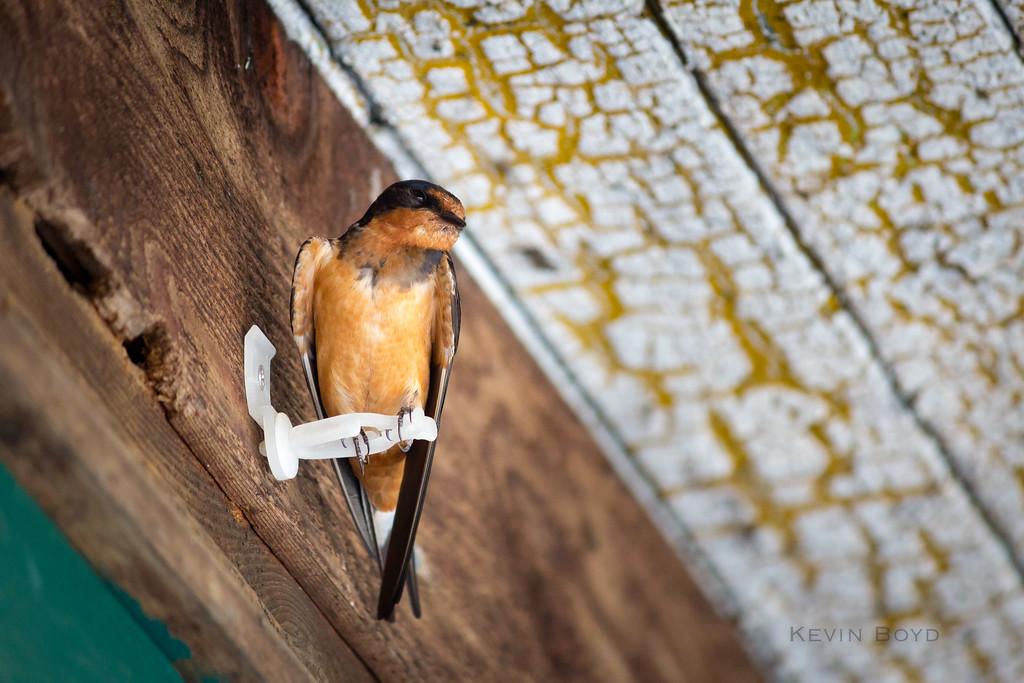 barn swallow 1