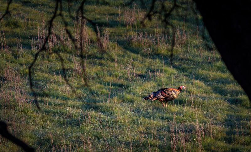turkey at rancho san antonio