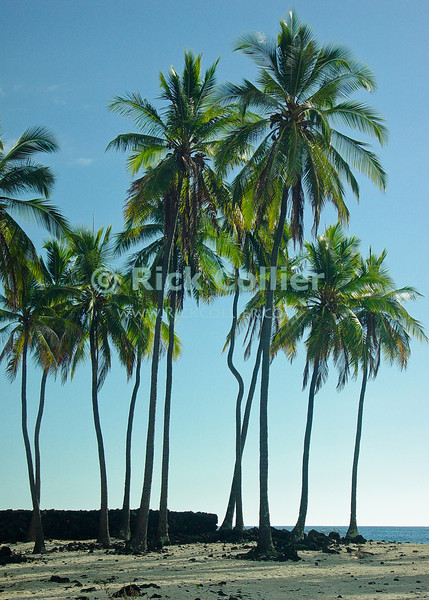 """""""Palm Beach"""" -- Palm trees grow from the sandy ground around the sacred place, which the Hawaiian tribes considered a place of refuge for anyone fleeing from their tribe.  Hanaunau, the place of refuge, Kona side on the Big Island, Hawaii.<br /> <br /> <br /> <br /> <br /> <br /> <br /> Hawaii Hawai'i big island sea ocean view Honaunau place of refuge lava flow seashore tidal pools national park palm trees beach"""