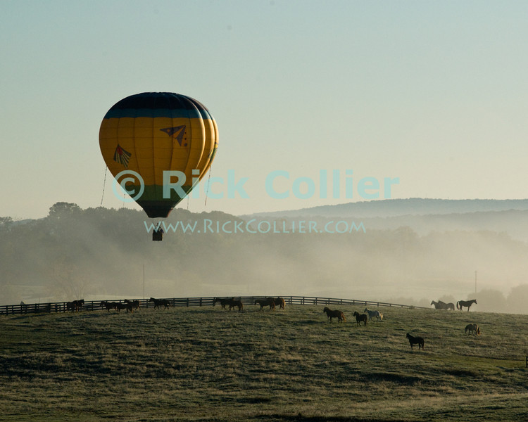 """""""Frightening the Livestock"""" -- A balloon confuses a herd of horses as it lifts over their field in the dawn mist at the annual Winchester Balloon Festival.  Long Branch Farm, Winchester, Virginia, USA.  © RickCollier.com<br /> <br /> <br /> <br /> <br /> <br /> """"balloon festival""""; USA; Virginia; Winchester; """"Long Branch""""; """"Long Branch Farm""""; field; tree; fence; fences; dawn; morning; dew; frost; balloon; lift; """"balloon lift""""; horse; horses; field; pasture; frost; mist; sunrise; fog;"""