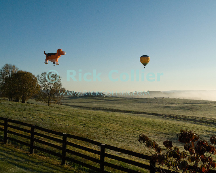 """""""Chasing the ball"""" -- Hot air balloons take flight over fields and patures in early morning at the annual Winchester Balloon Festival.  Long Branch Farm, Winchester, Virginia, USA.  © RickCollier.com<br /> <br /> <br /> <br /> <br /> <br /> """"balloon festival""""; USA; Virginia; Winchester; """"Long Branch""""; """"Long Branch Farm""""; field; tree; fence; fences; dawn; morning; dew; frost; balloon; lift; """"balloon lift""""; field; pasture; frost; mist; sunrise; fog; dog; fun; funny; shape; """"dog balloon"""";"""
