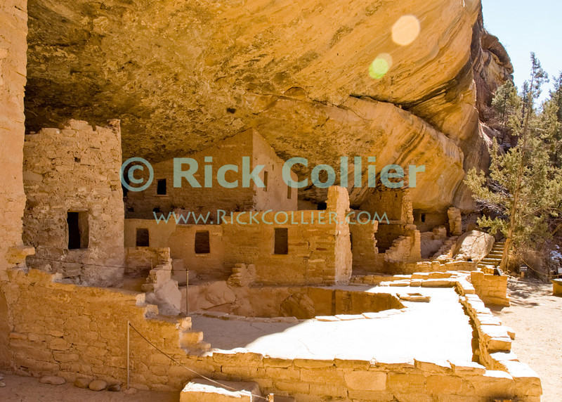 """Mesa Verde, Colorado, USA.  Native American mud brick pueblo structures occupy the """"Spruce Tree House"""" cave at Mesa Verde National Park.  The cliff dwellings at Mesa Verde were built by ancestral puebloans in the period A.D. 600 to A.D. 1300. © Rick Collier<br /> <br /> <br /> <br /> <br /> <br /> <br /> <br /> US USA Colorado Mesa Verde cliff dwelling pueblo Spruce Tree House Native American village town structure cave woods forest cave dwelling ancestral puebloan Anasazi"""