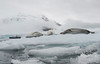 Crabeater seals rest on an Antarctic iceberg